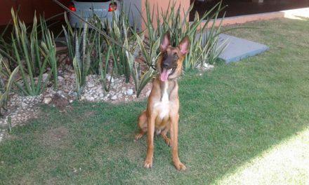 Polícia Civil de Imperatriz receberá cão farejador